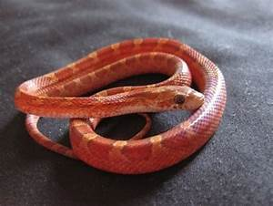 Blood Red corn snake for sale   Reptiles   Snakes for sale ...