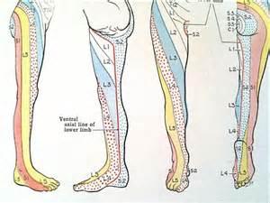 Peripheral Nerve Dermatomes Leg