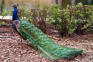 Peacocks | Beautiful Bird | The Wildlife