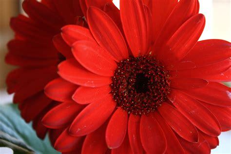 red daisies  lost  lens cap