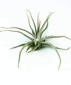 Tillandsien Im Glas : tillandsien shop corsa webshop luftpflanzen und air plants ~ Eleganceandgraceweddings.com Haus und Dekorationen