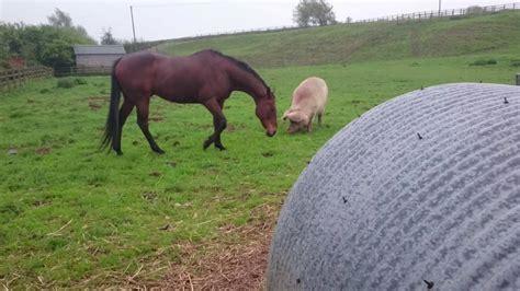 pigs horse