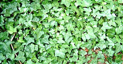 Efeu Schnell Wachsende Sorte by Low Growing Ground Cover Plants Ehow Uk