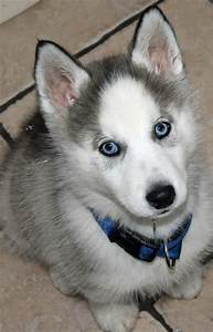 Grey Siberian Husky Puppies | www.pixshark.com - Images ...