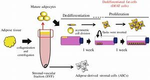 Preparation Of Dfat Cells  Adipose Tissue  1 U20132 G  Was