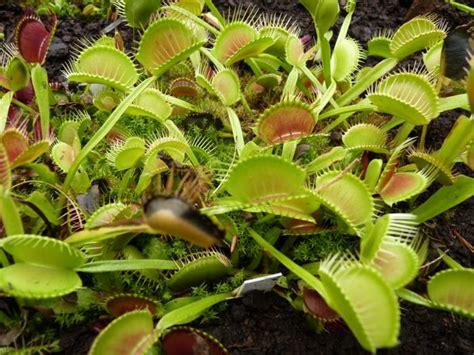 fleischfressende pflanzen repräsentative arten fleischfressende pflanzen aus der n 228 he kennen lernen