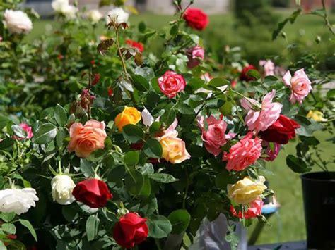 Cuándo Y Cómo Plantar Rosales  Rosal, Cultivo De Rosas Y