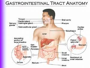 Gastrointestinal Tract Anatomy