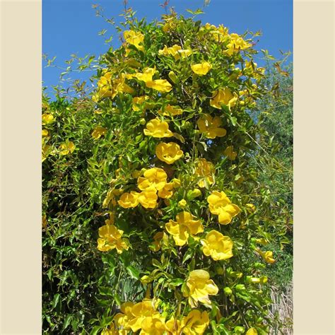 Gelsemium sempervirens - Vines - Plant Type - Boething ...