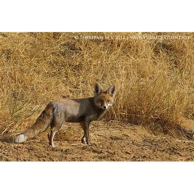 Visual Quotient » Desert Fox