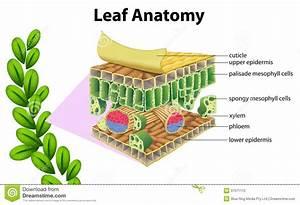 Leaf Anatomy Stock Photography