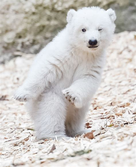 polar cub debut at munich zoo for international polar