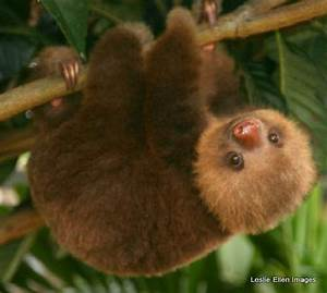 Rescued baby sloth at the Toucan Rescue Ranch - Picture of ...