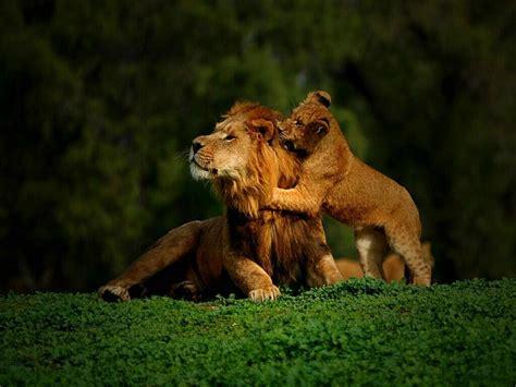 roaring wallpapers lion