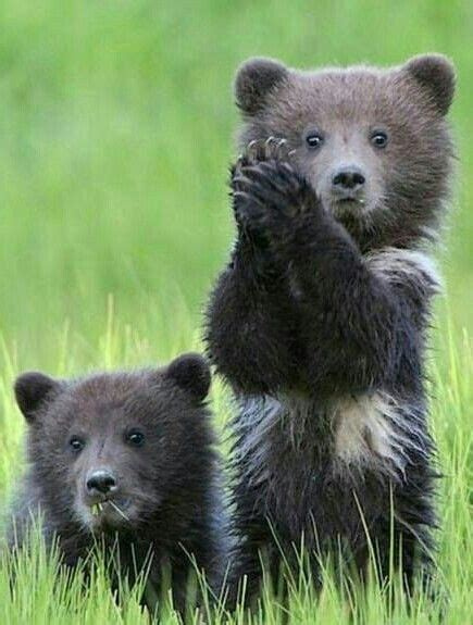 Clap Your Hands Clever Bear! | Tiere, Niedliche tiere ...