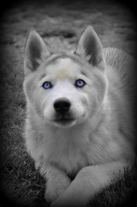 Puppy Galleries Siberian Husky Puppies For Sale