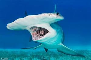 Hammerhead sharks are the youngest extant species of shark ...