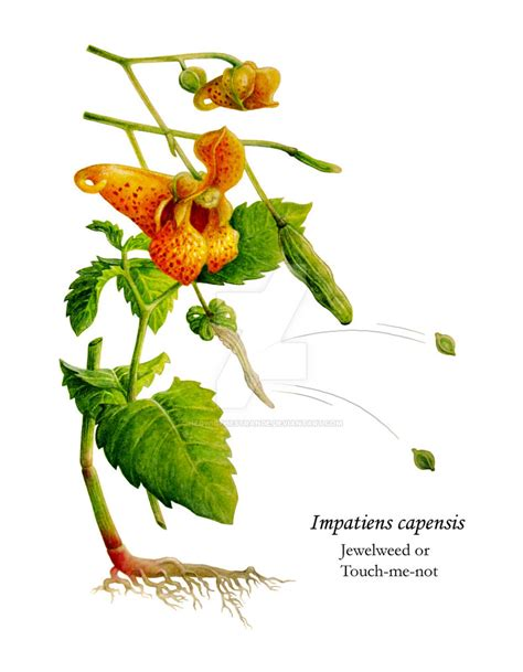 Jewelweed Images Impatiens Capensis Or Spotted Jewelweed By