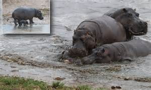 Baby Hippo Calf Is Mauled To Death By Pod Of Hippos In
