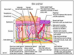 Cross Section Dermis