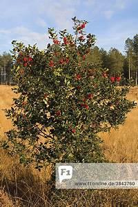 Busch Mit Roten Beeren : busch mit beeren dorset england europa europ ische oder gemeine stechpalme ilex aquifolium ~ Markanthonyermac.com Haus und Dekorationen