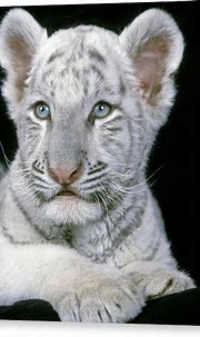 White Tiger Eyes Canvas Prints (Page #2 of 15) | Fine Art ...