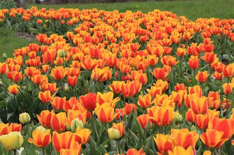 Garten Tulpen Pflanzen tulpen im garten tulpen pflanzen und pflegen tulpen im