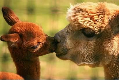 Llamas Kissing Llama Alpaca Alpacas Kiss Funny