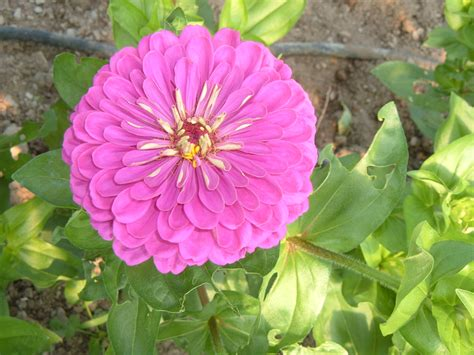 zinnia dahlia 496 zinnia purple dahlia turtle tree seed initiative