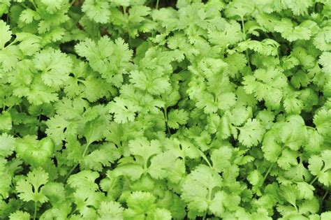 substitute for cilantro great substitutes for parsley you may have never thought of