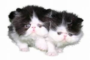 Cider's Haven Cattery | Home | CFA Purebred Persian Cats ...