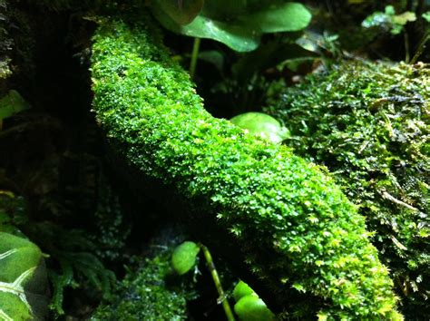dendroboard favorite terrestrial moss vivarium