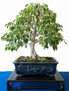 Pflege Bonsai Baum Indoor : birkenfeige ficus benjamini als bonsai ~ Michelbontemps.com Haus und Dekorationen