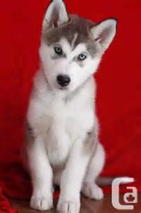 Cute Husky Puppies for Sale
