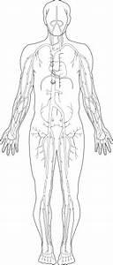 Veins Medical Diagram Clip Art Free Vector In Open Office