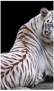 Wallpaper White tiger, look back, rest, blue eyes ...