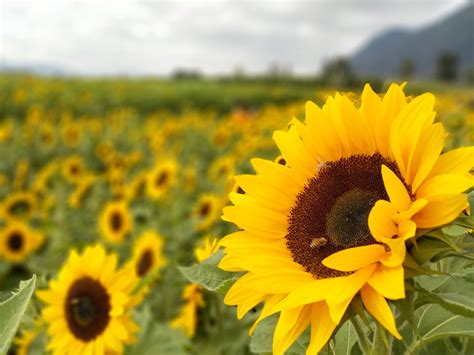 fotos gratis girasoles campos flores campo primavera