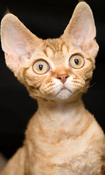 devon rex cat cat breeds encyclopedia