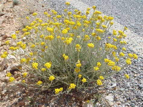 elicriso coltivazione in vaso elicriso coltivazione aromatiche come coltivare l elicriso