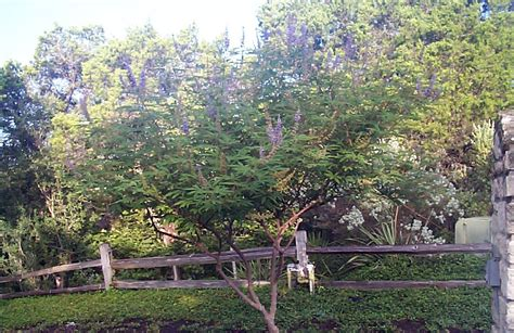 ornamental trees  austin   ornamental trees
