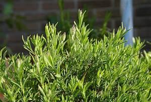 Lavendel Tee Selber Machen : lavendel anbauen bet rend duftende aromatische kostbarkeit ~ Frokenaadalensverden.com Haus und Dekorationen