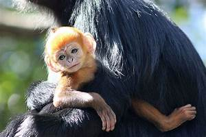 When Is Zoo Lights In Houston Rare Bright Orange Monkey Born At Australian Zoo Picture