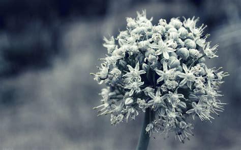 วอลเปเปอร์ : ดอกไม้, สีขาว, เบ่งบาน, ปลูก, ดำขาว 2560x1600 ...