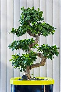 Bonsai Ficus Ginseng : best 25 ficus ginseng bonsai ideas on pinterest bonsai ficus ficus bonsai tree and bonsai ~ Buech-reservation.com Haus und Dekorationen