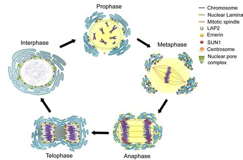 Mitosis Has How Many Cell Divisions Cell Biology What Is The Basic Structure Of The Nuclear