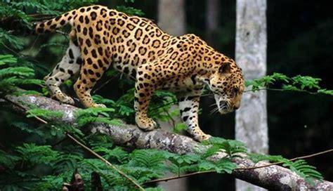 Afirman Que Aumentó 25 Por Ciento Número De Jaguares En México