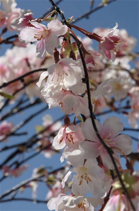 "Silk Cherry Blossom Branches 58"""