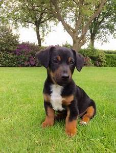 Black and Tan Jack Russell Puppy from Aislinge Bray ...