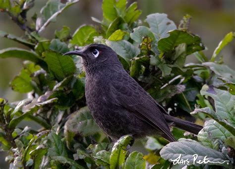Sooty Melidectes - West Papua, New Guinea - Bird images ...