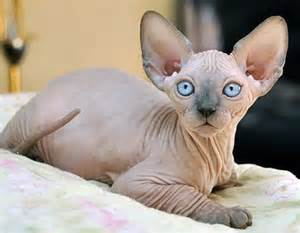 hairless cat for 40 amazing hairless sphynx cat pictures and fur